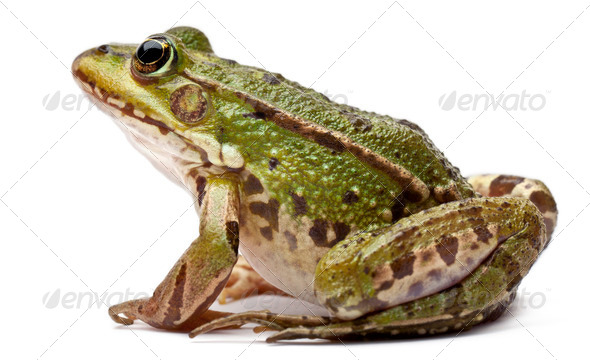 Common European frog or Edible Frog, Rana kl. Esculenta, in front of white background - Stock Photo - Images