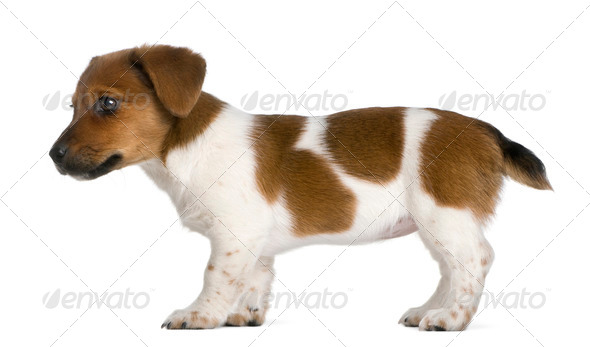 Side view of a jack russel terrier puppy (3 months old) - Stock Photo - Images