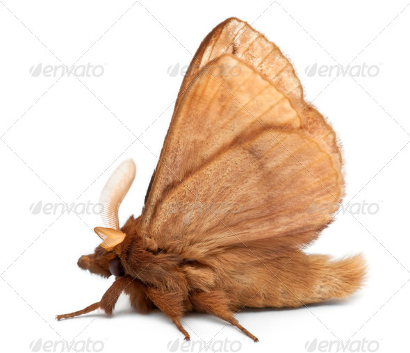 Male Drinker, Euthrix potatoria, a moth in front of white background - Stock Photo - Images