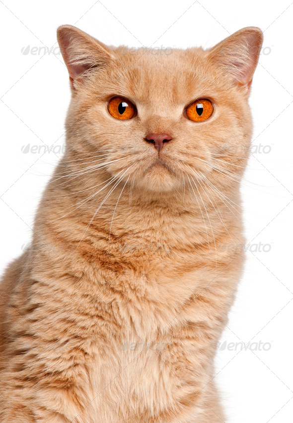 Ginger British Shorthair cat, 1 year old, portrait in front of white background - Stock Photo - Images
