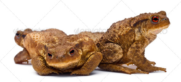 Three common toads or European toads,  Bufo bufo, in front of white background - Stock Photo - Images