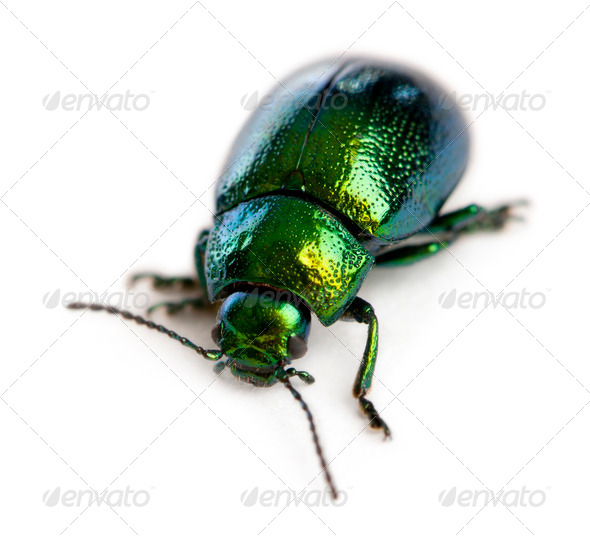 Leaf beetle, Chrysomelinae, in front of white background - Stock Photo - Images