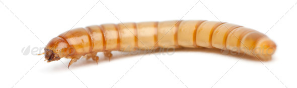 Larva of Mealworm, Tenebrio molitor, in front of white background - Stock Photo - Images