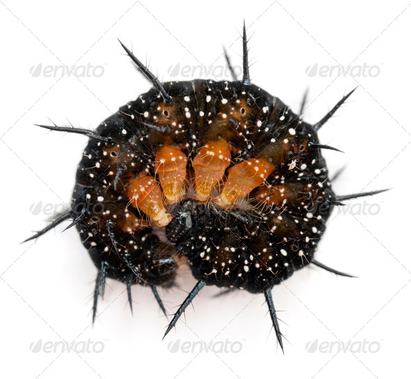 Caterpillar of a Peacock butterfly, Inachis io, rolled up in front of white background - Stock Photo - Images