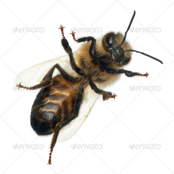 Female worker bee, Anthophora plumipes, in front of white background - Stock Photo - Images