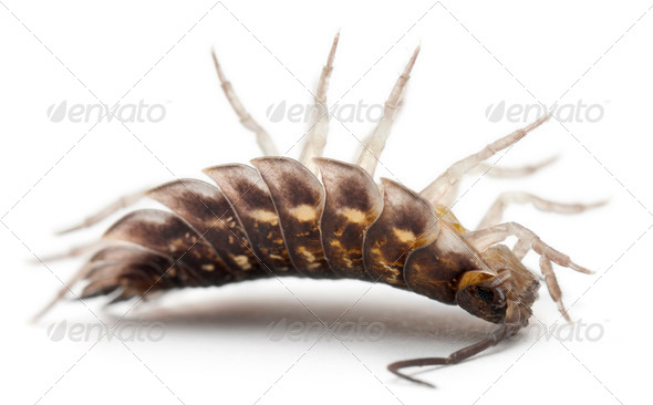 Upside down Common woodlouse, Oniscus asellus, in front of white background - Stock Photo - Images