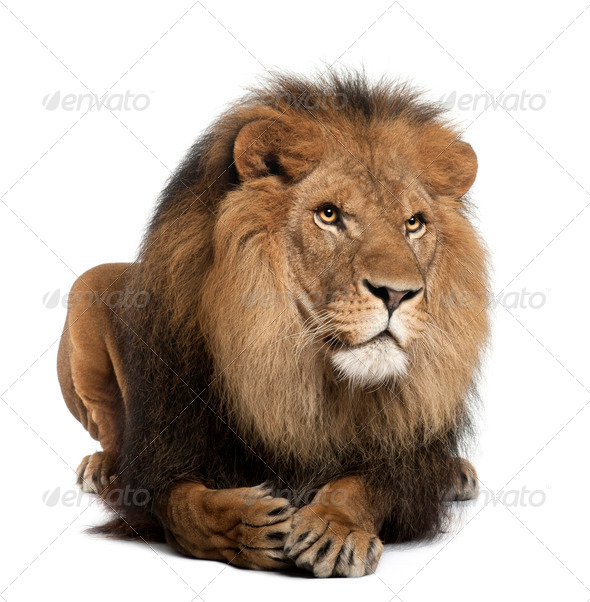 Lion, Panthera leo, 8 years old, lying in front of white background - Stock Photo - Images