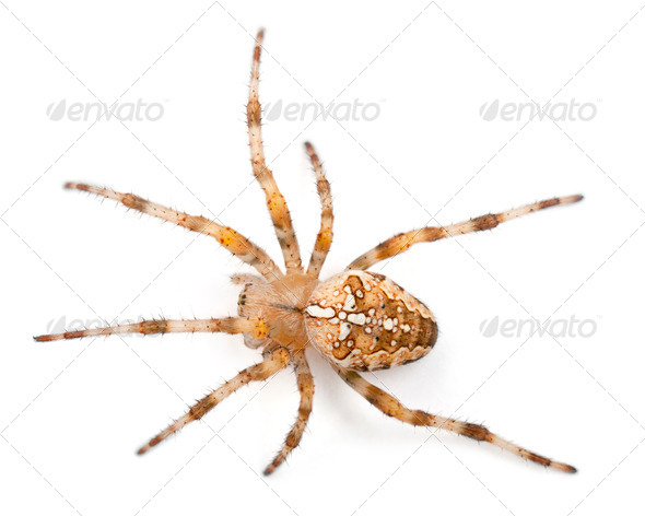 European garden spider, Araneus diadematus, in front of white background - Stock Photo - Images