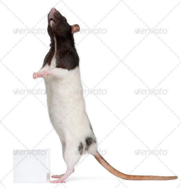 Fancy Rat, 1 year old, standing in front of white background - Stock Photo - Images