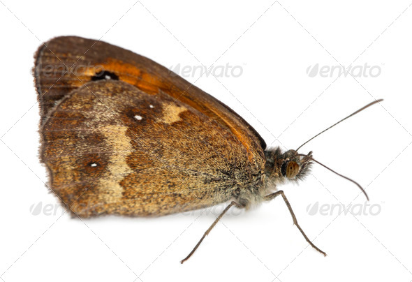 Meadow Brown, Maniola jurtina, in front of white background - Stock Photo - Images