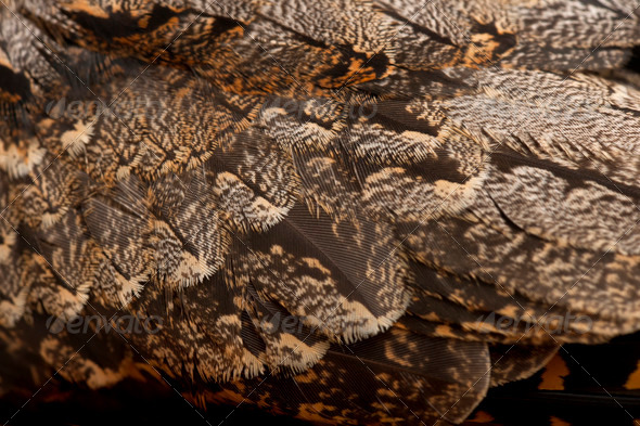 European Nightjar, or just Nightjar, Caprimulgus europaeus, close up - Stock Photo - Images