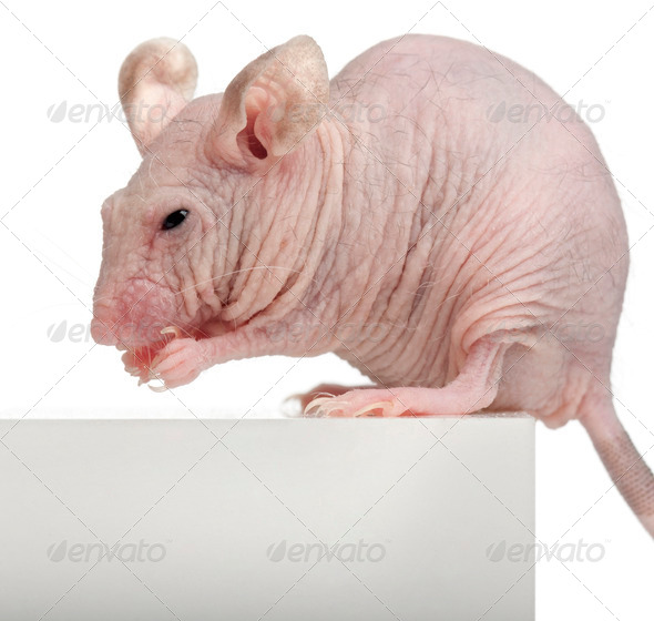 Hairless House mouse, Mus musculus, 3 months old, sitting on box in front of white background - Stock Photo - Images