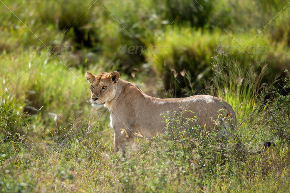 Lioness in Serengeti National Park, Tanzania, Africa - Stock Photo - Images