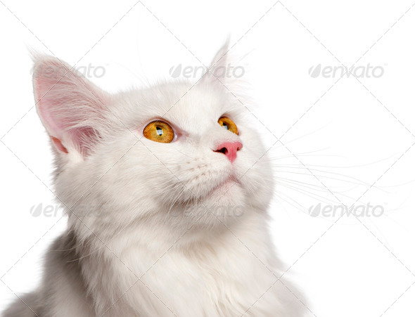 Maine Coon cat, 8 months old, portrait in front of white background - Stock Photo - Images
