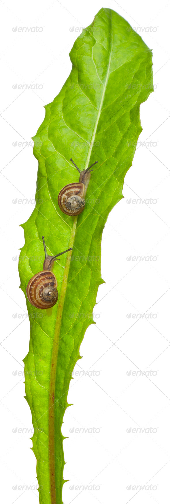 Two White Garden Snails or Mediterranean snail, Theba pisana, in front of white background - Stock Photo - Images