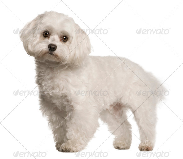 Maltese dog, 4 years old, sitting in front of white background, studio shot - Stock Photo - Images