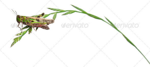 Cricket on a herb in front of white background - Stock Photo - Images