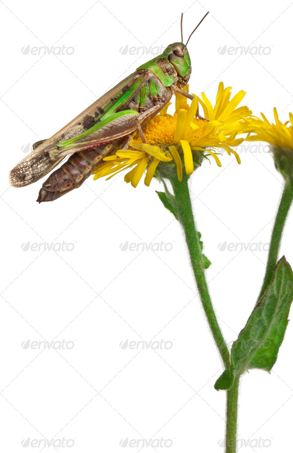 Cricket on a dandelion in front of white background - Stock Photo - Images