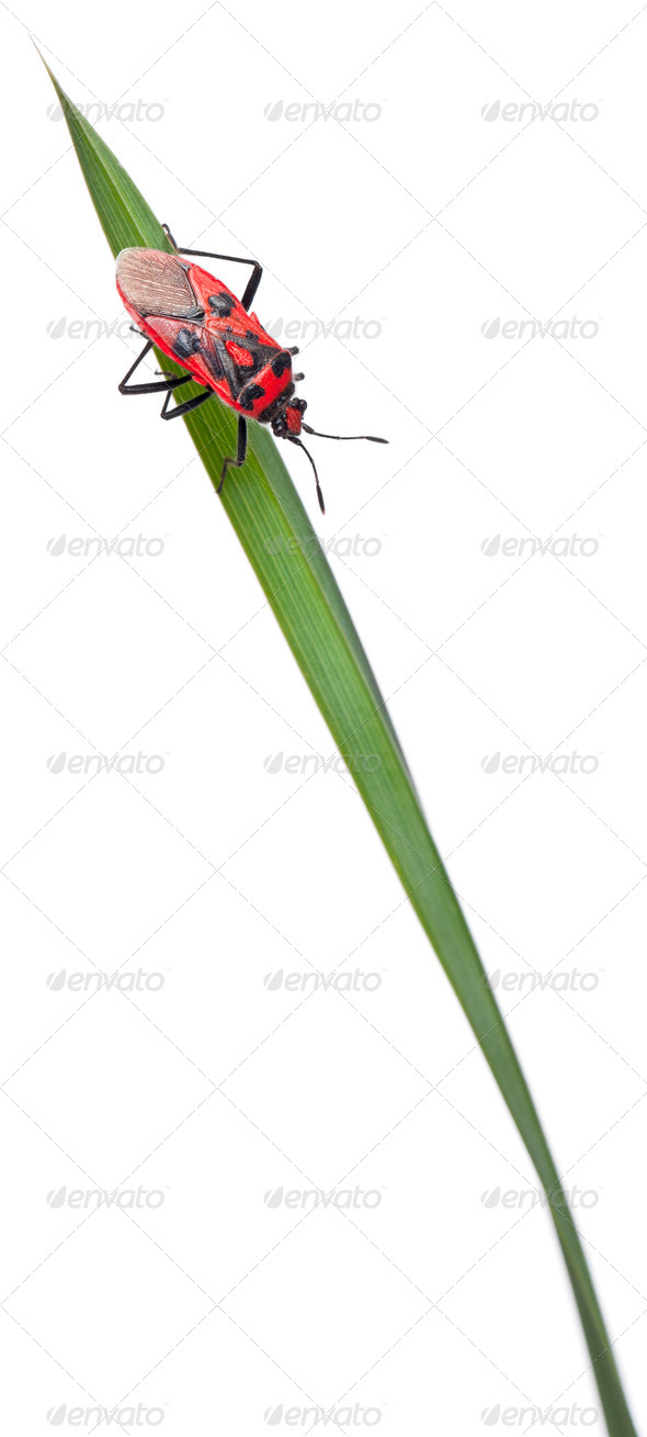 Scentless plant bug, Corizus hyoscyami, on blade of grass in front of white background - Stock Photo - Images