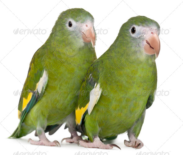 White-winged Parakeets, Brotogeris versicolurus, 5 years old, in front of white background - Stock Photo - Images