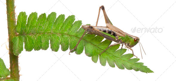 Woodland Grasshopper, Omocestus rufipes, on fern in front of white background - Stock Photo - Images
