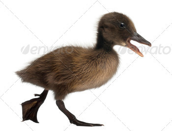 Black Mallard or wild duck, Anas platyrhynchos, 3 weeks old, in front of white background