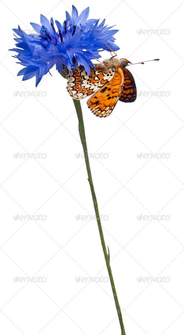 Knapweed Fritillary, Melitaea phoebe, on cornflower in front of white background - Stock Photo - Images