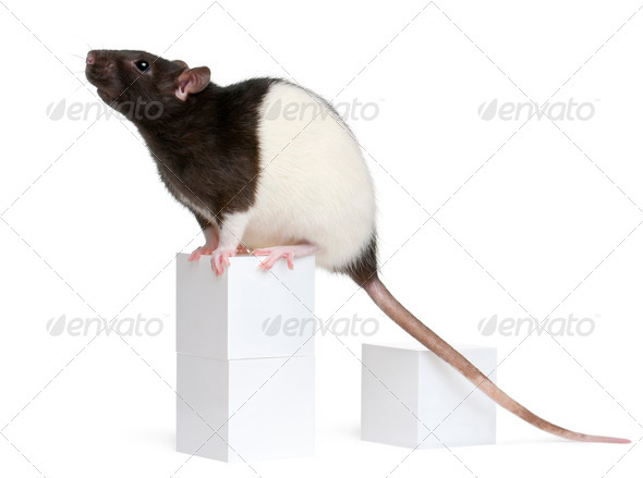 Fancy Rat, 1 year old, sitting on box in front of white background - Stock Photo - Images