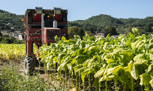 Harvesting tobacco leaves with harvester tractor - Stock Photo - Images