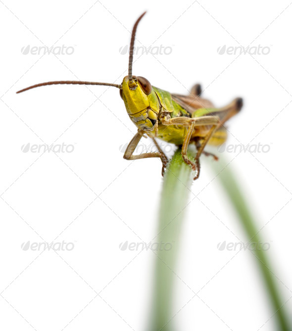 Grasshopper on a grass blade in front of white background - Stock Photo - Images
