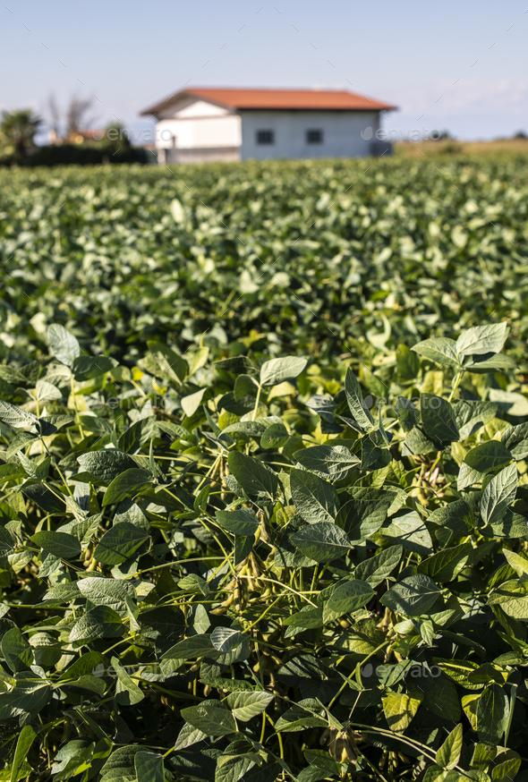 Soya plantation. Soyabean in farm. - Stock Photo - Images