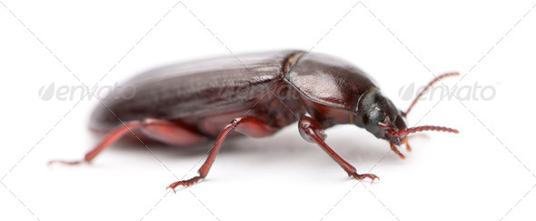 Mealworm, Tenebrio molitor, in front of white background - Stock Photo - Images