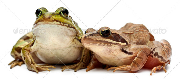 Common European frog or Edible Frog, Rana esculenta, and a Moor Frog, Rana arvalis, - Stock Photo - Images