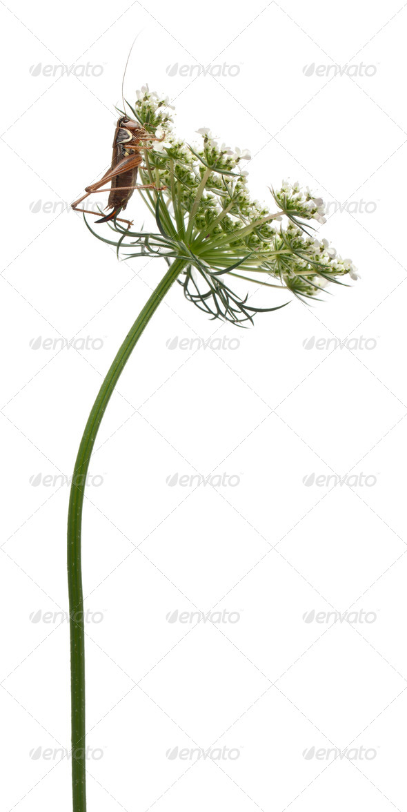 Female Shield-back Katydid, Platycleis tessellata, climbing flower in front of white background - Stock Photo - Images