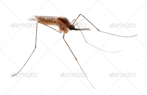 Common gnat, Culex pipien, in front of white background - Stock Photo - Images