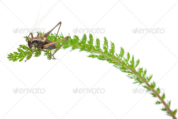 Male Shield-back Katydid, Platycleis tessellata, on plant in front of white background - Stock Photo - Images