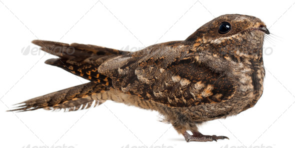 European Nightjar, or just Nightjar, Caprimulgus europaeus, in front of white background - Stock Photo - Images
