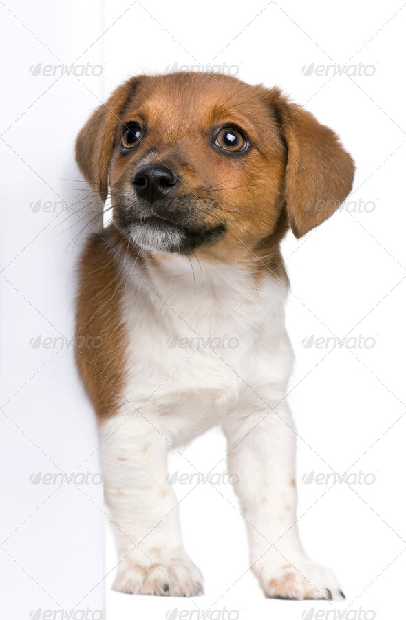 jack russel terrier puppy peeking around white board against white background (3 months old) - Stock Photo - Images