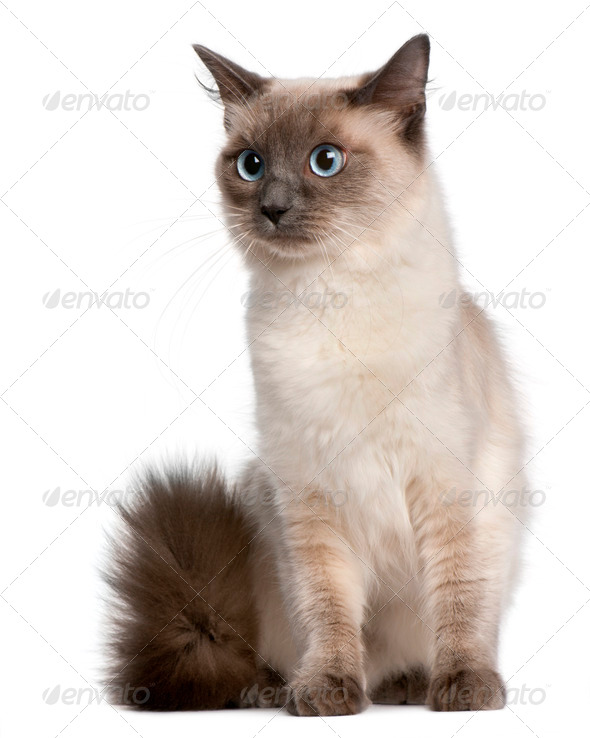 Ragdoll cat, 15 months old, sitting in front of white background - Stock Photo - Images