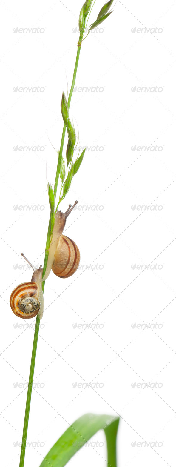Garden snails, Helix aspersa, climbing stem in front of white background - Stock Photo - Images