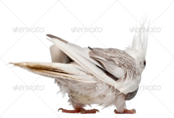 Female Cockatiel, Nymphicus hollandicus, in front of white background - Stock Photo - Images