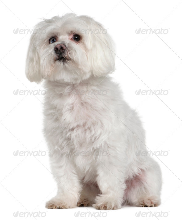 Old Maltese dog, 10 years old, sitting in front of white background, studio shot - Stock Photo - Images
