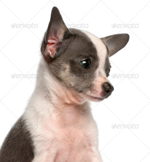 Chihuahua puppy, 3 months old, headshot in front of white background - Stock Photo - Images