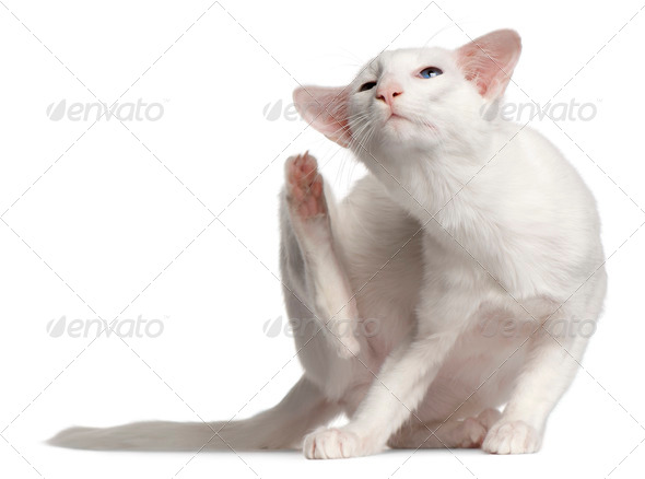 Balinese cat, 1 year old, scratching in front of white background - Stock Photo - Images