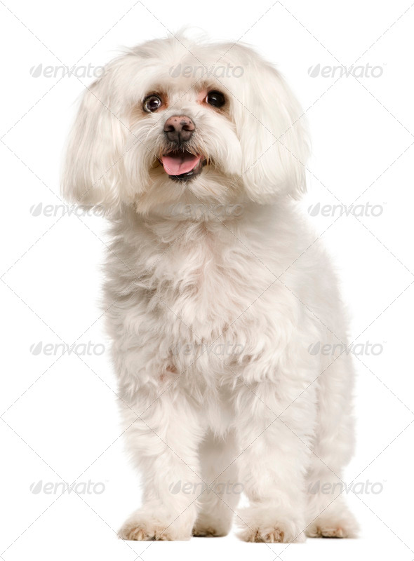 Old Maltese dog, 10 years old, standing in front of white background, studio shot - Stock Photo - Images