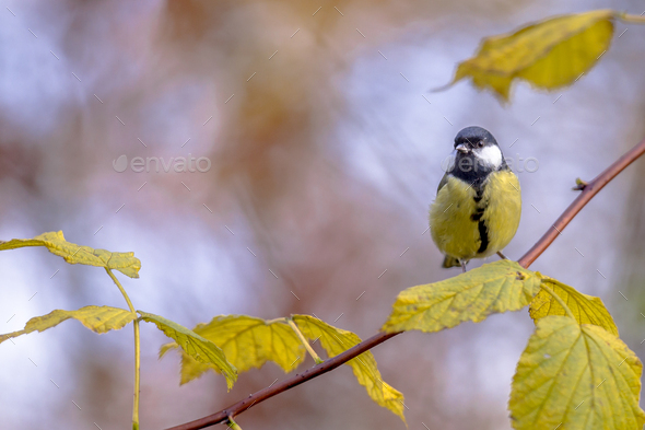 Great tit yellow autumn leaves - Stock Photo - Images