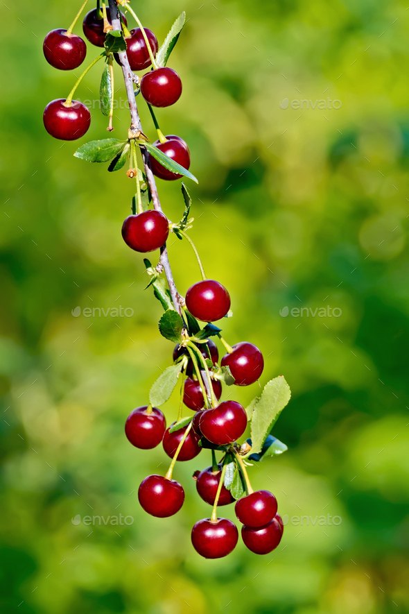 Cherries red on branch - Stock Photo - Images