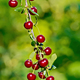 Cherries red on branch - PhotoDune Item for Sale