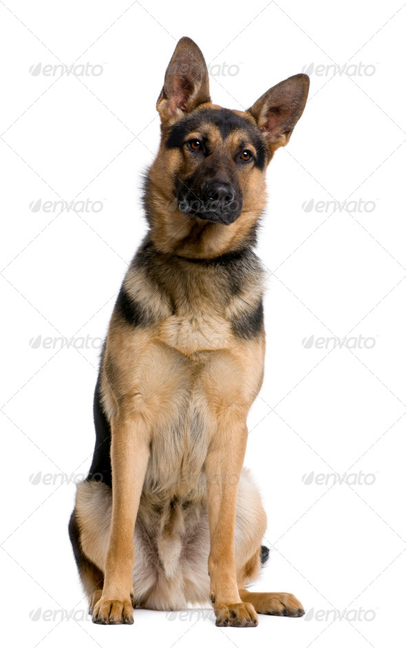 German Shepherd, 1 year old, sitting in front of white background, studio shot - Stock Photo - Images