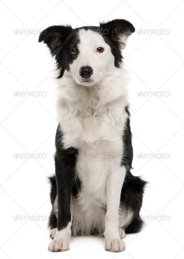 Young Border Collie, 15 months old, sitting in front of white background - Stock Photo - Images